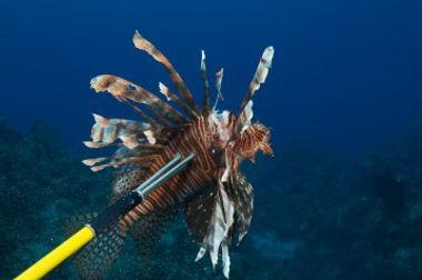 lion-fish-cayman-islands